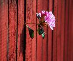 fleur-mur